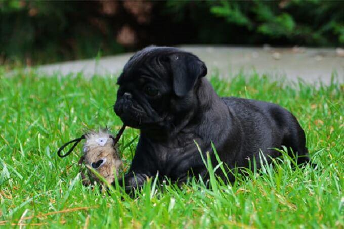 Chó pug màu đen cực hiếm tại Việt Nam