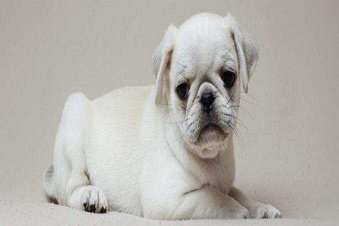 Chó pug màu trắng cũng hiếm như màu đen. Tại Việt nam phổ biến nhất là màu vàng
