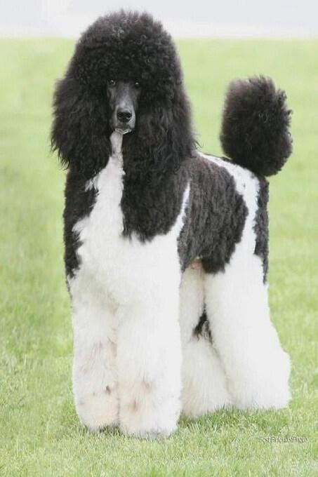 Cùng một kiểu cắt tỉa đối với những chú chó Poodle standard co mảng màu cân đối