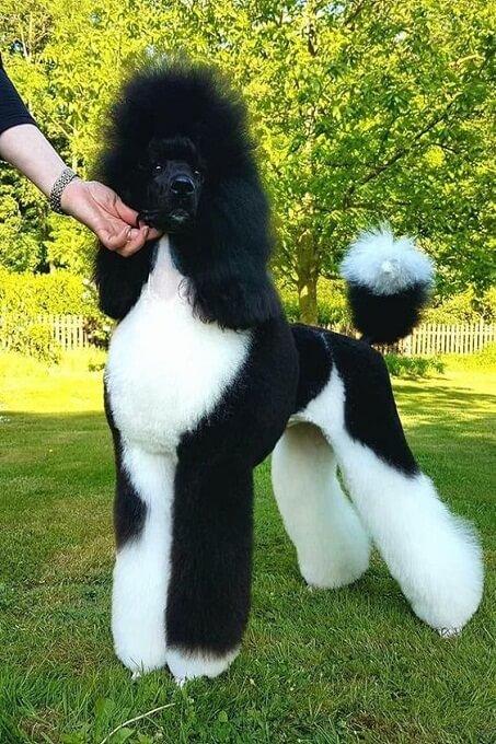 Chó poodle standard với bộ lông đen trắng được cắt tỉa như một ngôi sao nhạc rock