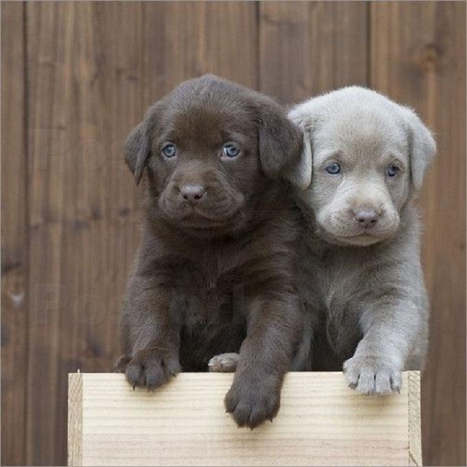 Hai em Labrador trong đó có 1 silver lab cực hiếm
