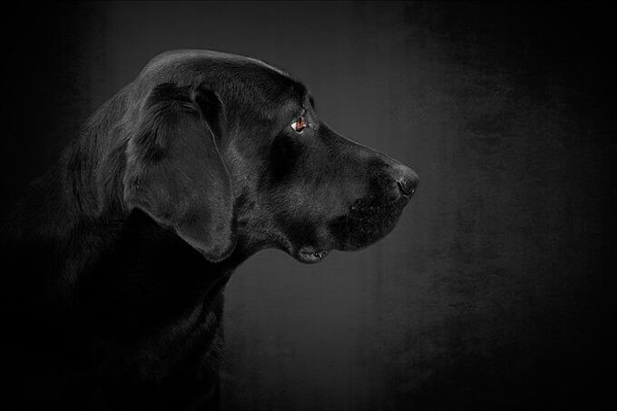 Một chú chó Labrador retriever đen tuyền tuyệt đẹp