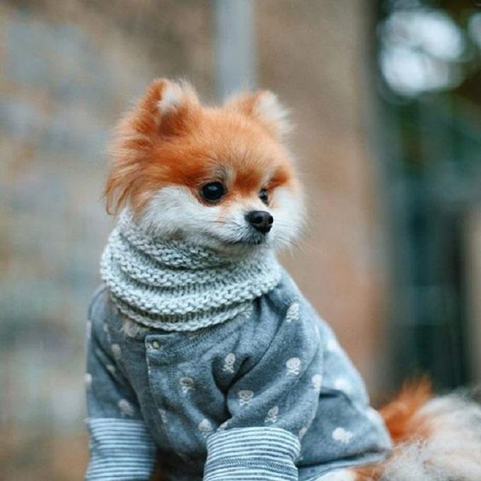 Pomeranian. Khi gió đông về