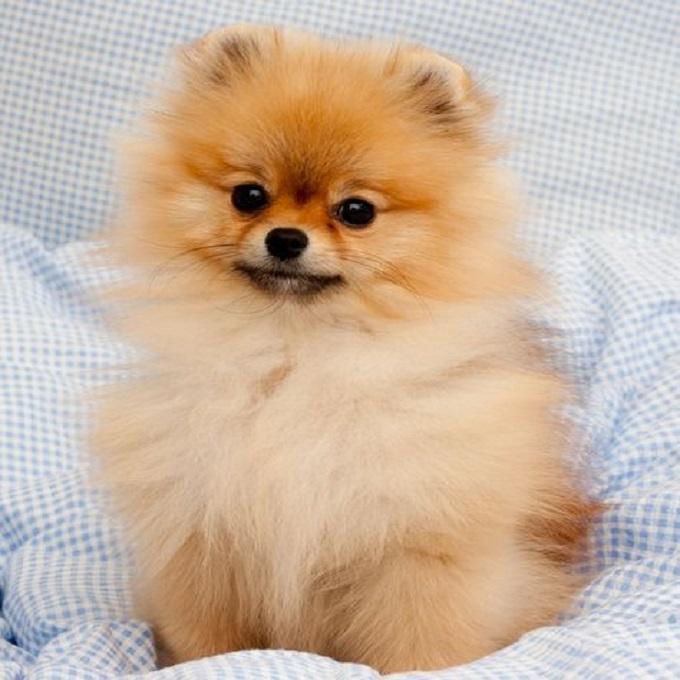 Pomeranian. Thiên thần bé nhỏ