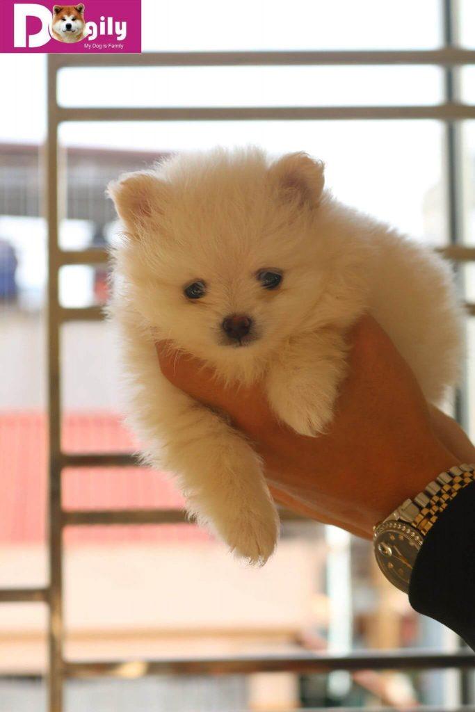 Chó phốc sóc (pomeranian). Giá mua bán chó phốc sóc tại hà nội và tphcm ?