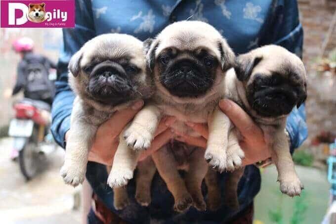 Bán chó Pug mini con giá rẻ tại Dogily Petshop Hà Nội và Tphcm.