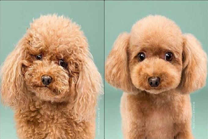 Bộ lông chó poodle cần được chăm sóc cẩn thận và thường xuyên