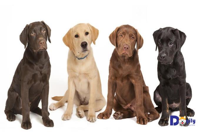 Các màu cơ bản của chó Labrador Retriever.