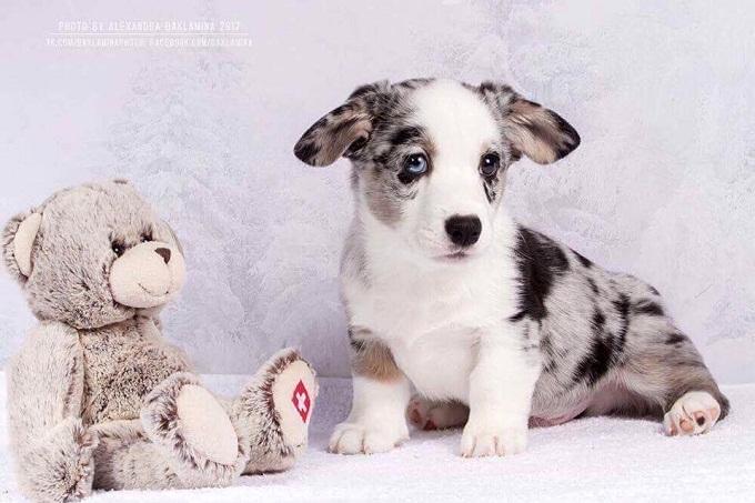 Chó corgi pembroke và cardigan. Giá mua bán chó corgi tại tphcm và Hà nội năm 2018