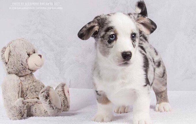 Chú chó corgi Ryal nhập khẩu Nga của Dogily.vn
