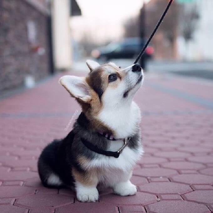 Chó corgi cardigan con - thiên thần là có thật