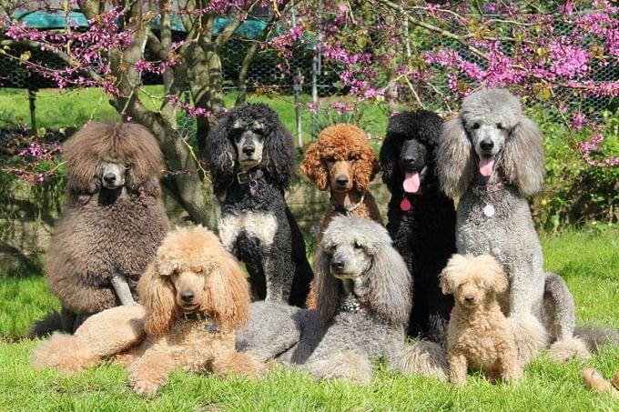 Đại gia đình chó poodle standard, miniature và Toy