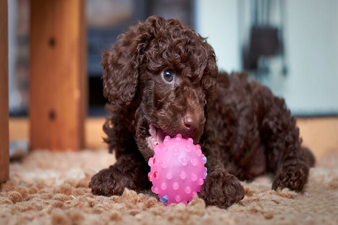 Chó poodle màu sô cô la