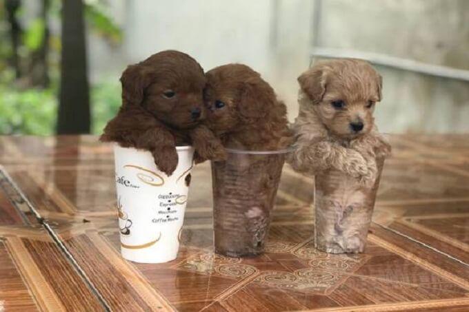 Phiên bản nhỏ nhất. Poodle teacup có thể đặt vừa vặn trong 1 tách trà