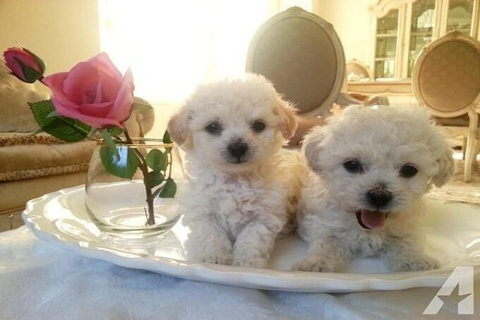 Hei em teacup poodle màu trắng tuyệt đẹp