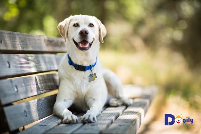 Bạn cần chăm sóc, vệ sinh thường xuyên cho chó Labrador. Để đảm bảo chúng luôn sạch sẽ, khỏe mạnh và vui vẻ.