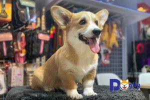 Mua bán chó Corgi giá tốt tại Dogily Petshop Hà Nội, Tphcm.