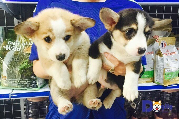 Chó corgi sinh sản tại Việt Nam đang bán tại Dogily Petshop Hà Nội và Tphcm ở mức giá 10-16 triệu đồng/con.