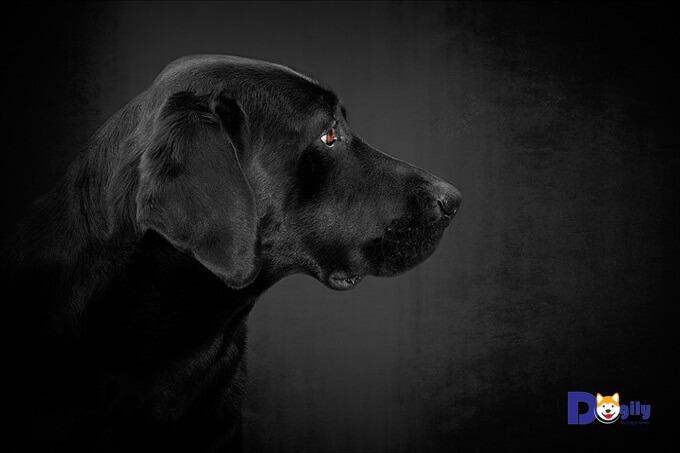 Chó Labrador có nguồn gốc từ đảo Newfoundland.