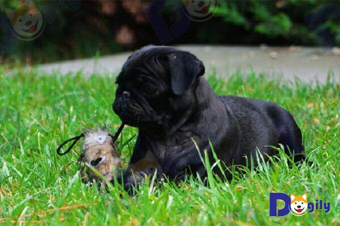 """Chó Pug màu đen tuyền, vẻ đẹp từ sự """"xấu lạ""""."""