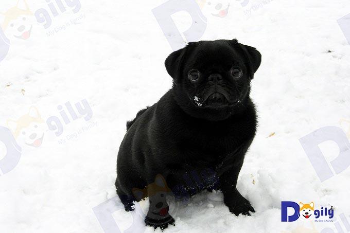 Ảnh: Một chú chó Pug đen nhập khẩu châu Âu.