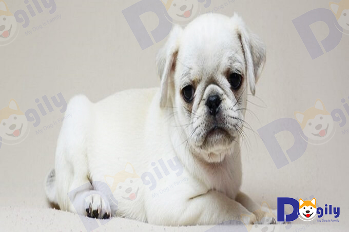 Chó màu trắng cũng hiếm như màu đen. Tại Việt nam phổ biến nhất là màu vàng