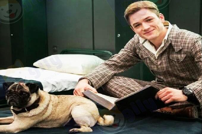 Ảnh: chú chó Pug trong kiệt tác điện ảnh Hollywood: Điệp vụ Kingman.