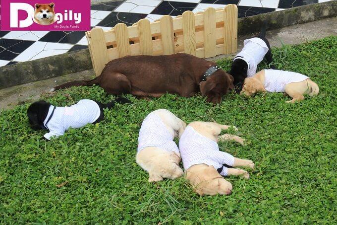 Giá bán chó Labrador con tại Việt Nam tương đối hợp lý. Dao động từ 8-15 triệu tùy từng con.