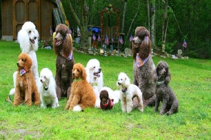 Hình ảnh minh họa kích thước các loại chó poodle