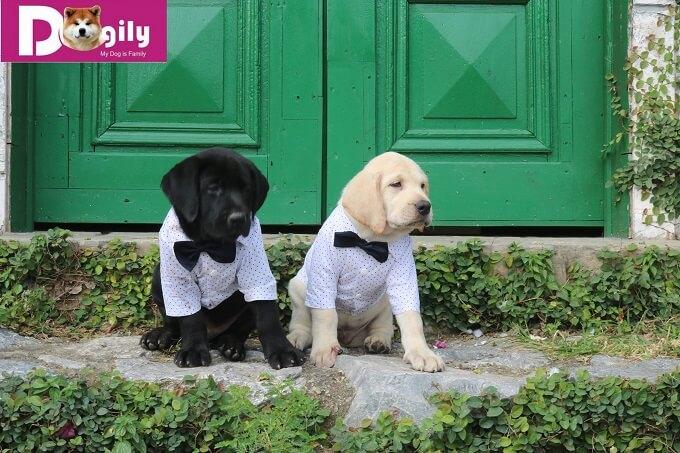 Mua bán chó Labrador hợp đồng rõ ràng. Giấy tờ đầy đủ gồm: sổ tiêm chủng, giấy bảo hành, hướng dẫn chăm sóc chó con.