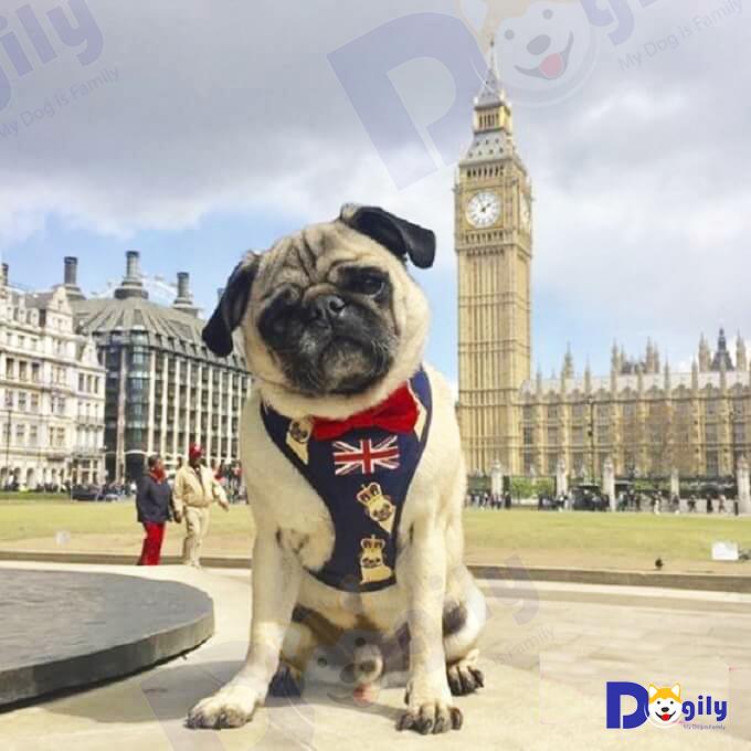 Hình ảnh chú pug dog đáng yêu mặc áo hình Quốc kỳ Vương quốc Anh trước tháp đồng hồ Big Ben (London).