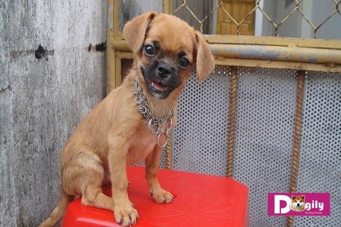 Hình ảnh chó pug lai phốc mini giá rẻ rao bán trên mạng xã hội.