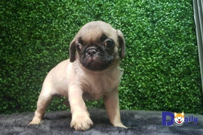 Mua bán chó Pug tại Dogily Petshop có hợp đồng rõ ràng. Bảo hành sức khỏe 1 đổi 1. Đảm bảo thuần chủng 100%.