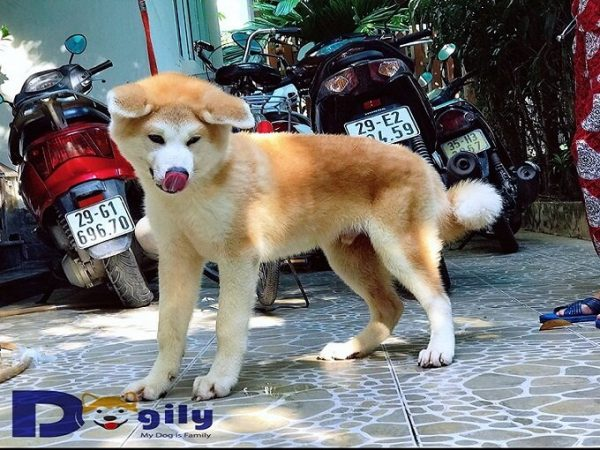 Hình ảnh chú chó Akita Tsuniky bố mẹ nhập Nhật Bản của Dogily Petshop