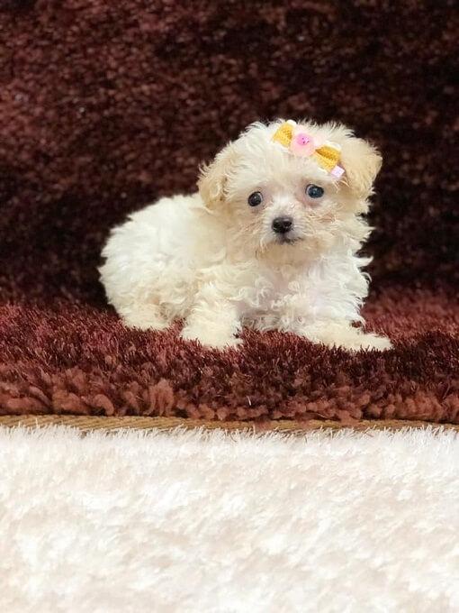 Bán chó teacup poodle tại Dogily Petshop tphcm và hà nội
