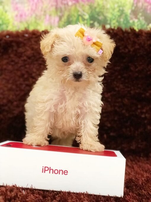 Chó poodle teacup của Dogily Petshop nằm vừa hộp điện thoại Iphone X