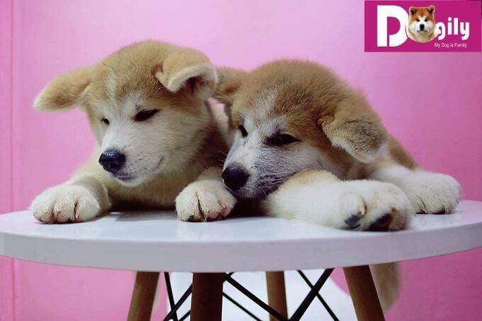 """Bạn nên chọn mua chó Akita Inu từ những người bán có uy tín. Kiểm tra phả hệ, giấy tờ mua bán rõ ràng để tránh không bị mua chó Akita lai tạp, không thuần chủng, """"tiền mất, tật mang"""""""
