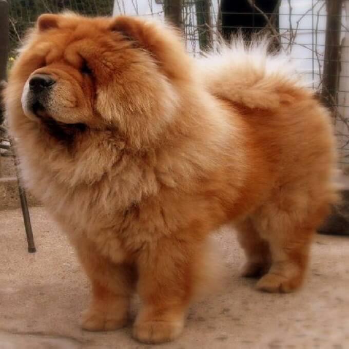 Một chú chó chow chow tiêu chuẩn