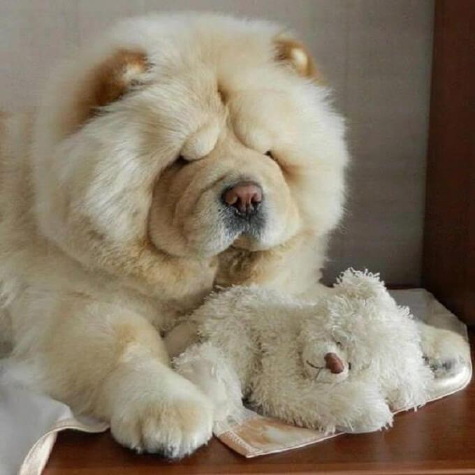 Chó chow chow có tính cách rất thân thiện và gần gũi