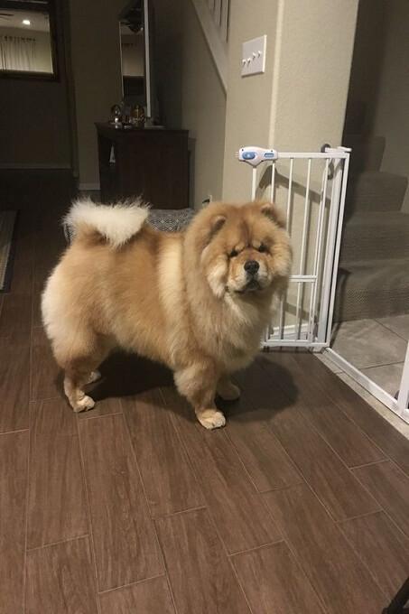 Chó chow chow có thân hình ngộ nghĩnh rất dễ thương