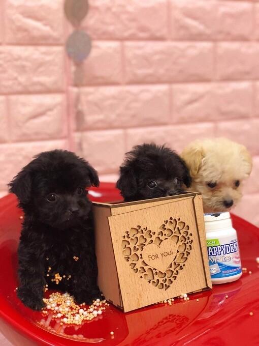 Bán đàn chó poodle teacup tháng 10.2018
