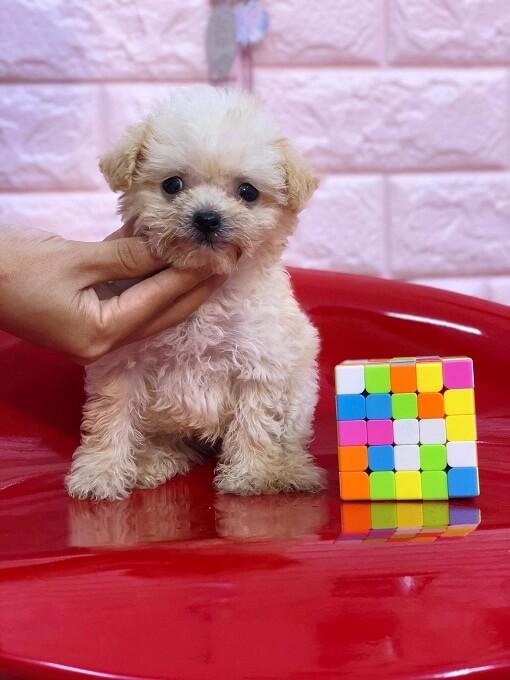 Bán chó poodle teacup giá rẻ tphcm và hà nội