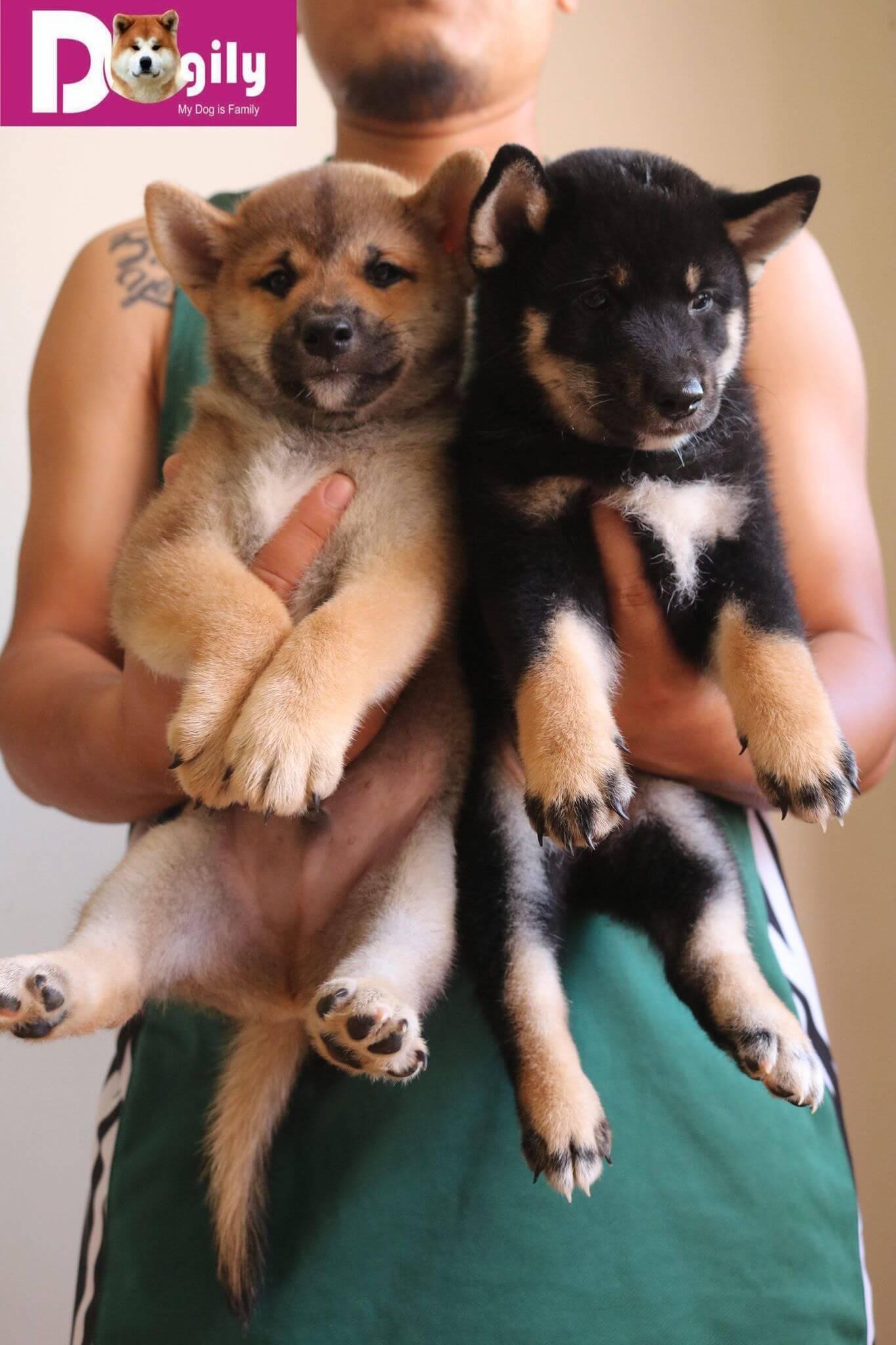 Bán chó shiba inu màu đen và vàng thuần chủng tháng 11.2018 Dogily Petshop 2