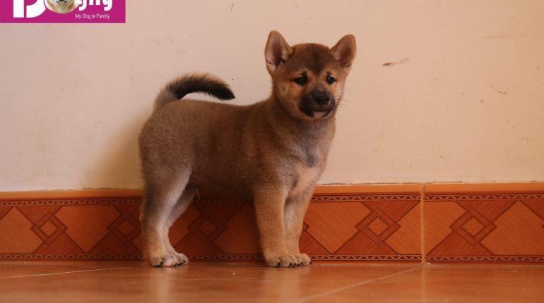 Một chú chó Shiba Inu con của Dogily Petshop