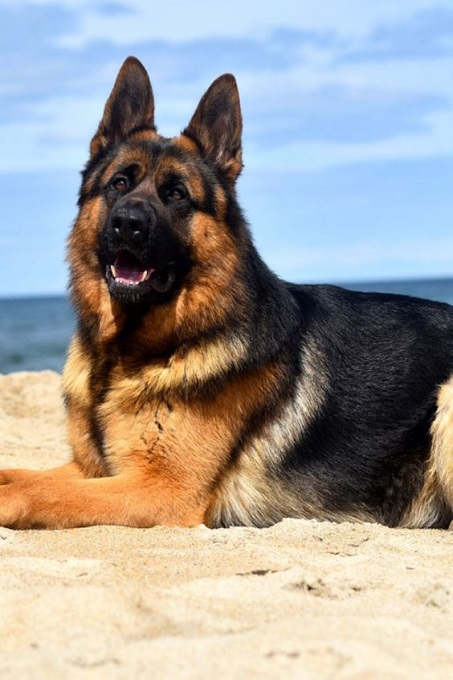 Chó Becgie GSD được sử dụng làm cảnh khuyển tại Việt Nam từ những năm 1960-1970. Giống chó này được nuôi nhiều từ sau bộ phim Rex - chú chó thám tử