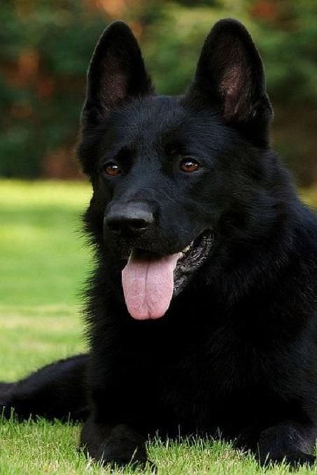 Một chú chó Becgie GSD có bộ lông màu đen cực hiếm