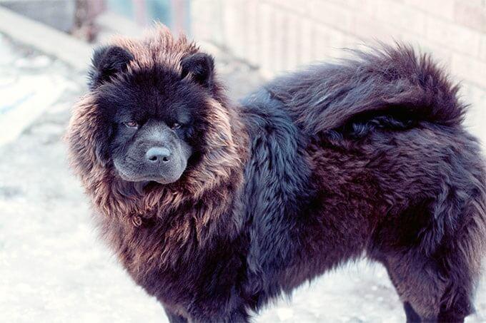 Chó chow chow màu đen với vẻ hoang dại, huyền bí.
