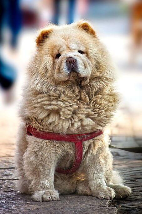 Chó Chow chow được các thương gia người Anh đưa về châu Âu từ thế kỷ 18