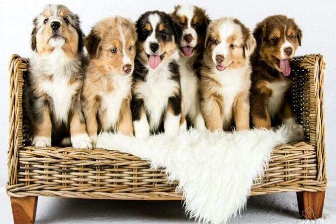Giá bán chó chăn cừu Úc Australian Shepherd nhập khẩu không hề rẻ. Từ 1.800 usd trở lên