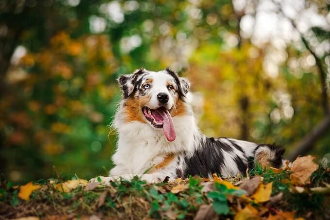 Tên gọi là chó chăn cừu Úc Australian Shepsherd. Tuy nhiên, giống chó này lại có nguồn gốc từ ... nước Mỹ